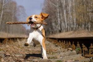 belöning efter promenaden: glad hund med pinne