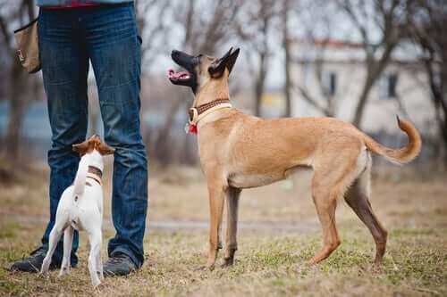 En människa med två vältränade hundar.