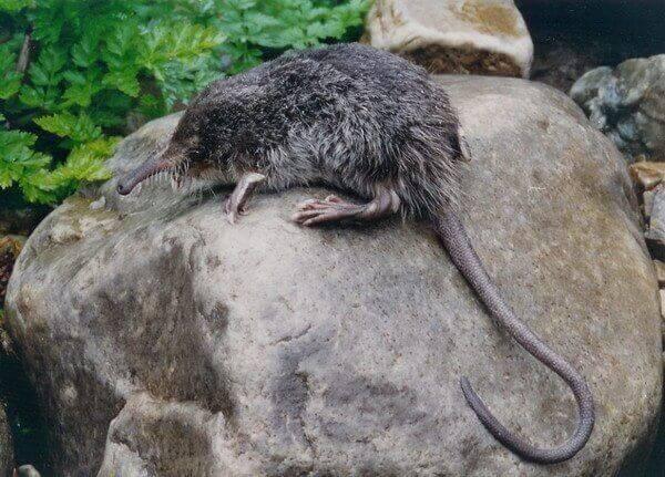 Insektsätande små däggdjur: en bisabnäbbmus sitter på en sten.
