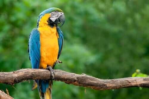 Enblå-gul ara sitter på en gren.