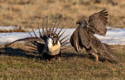 Fåglarnas parningsdans kan till och med bli aggressiv.