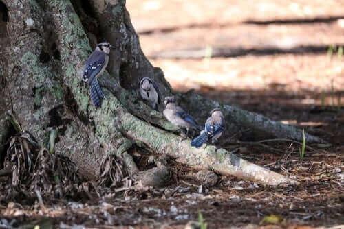 Fakta om blåskrikan: en familj vid ett träd.