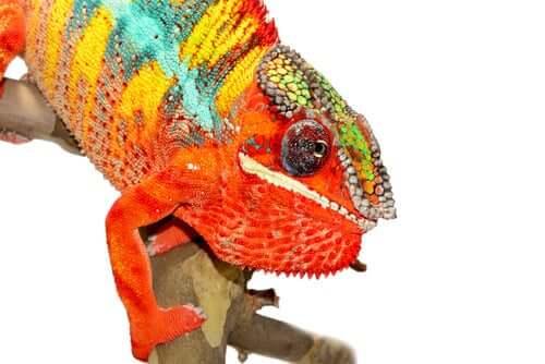 Färgglad kameleont sitter på en pinne.