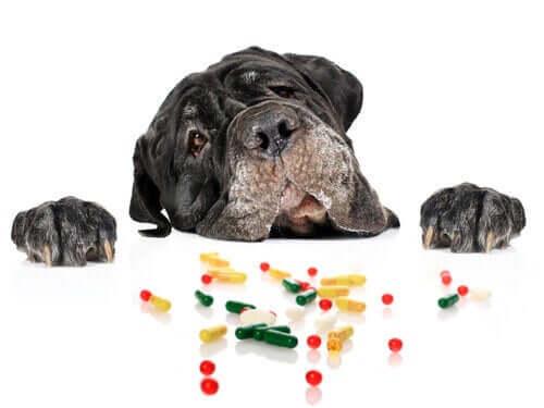 Hund försöker nå upp till medicin.