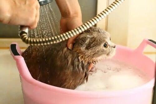 Hur ofta bör man bada katten?