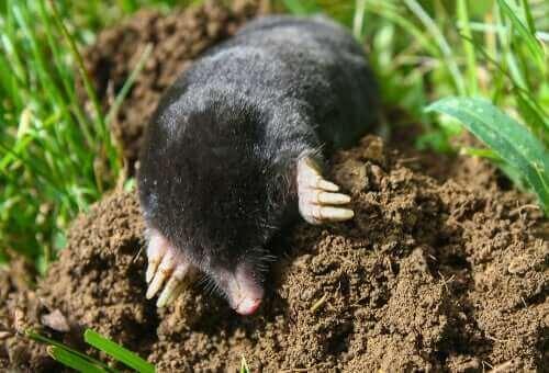 En mullvad gräver på en gräsmatta.
