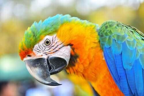 Papegojfågeln ara: en mycket intelligent fågel