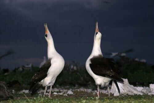 Spelbeteende hos djur visas upp i fåglars parningsdans.