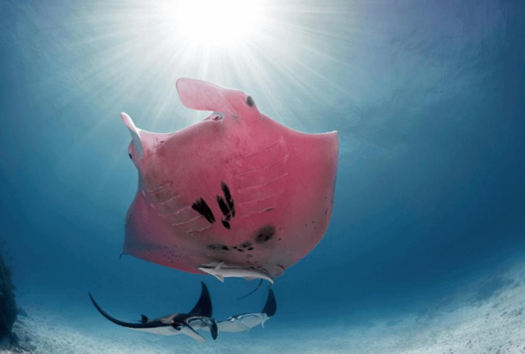 En rosa manta fotograderad underifrån upp mot havsytan.