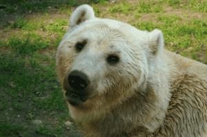huvudet av prizzlyn eller grolarbjörnen