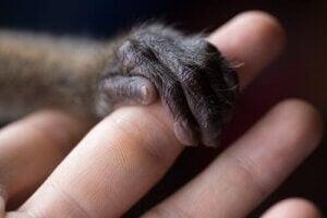 prägling och räddade djur: primathand håller om människofinger