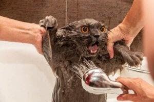 lider av kattallergi: katt får bad och dusch