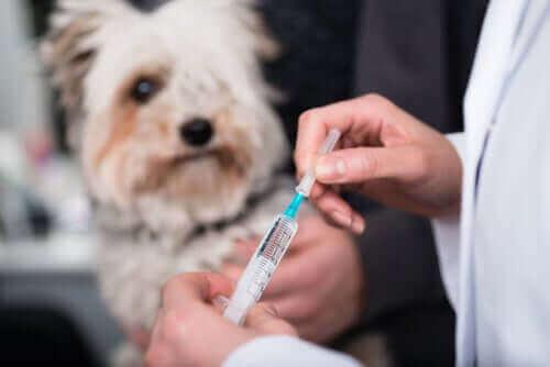 Hund får vaccin hos veterinär.