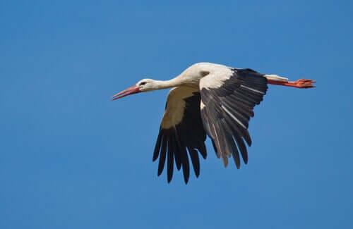 En vit stork flyger.