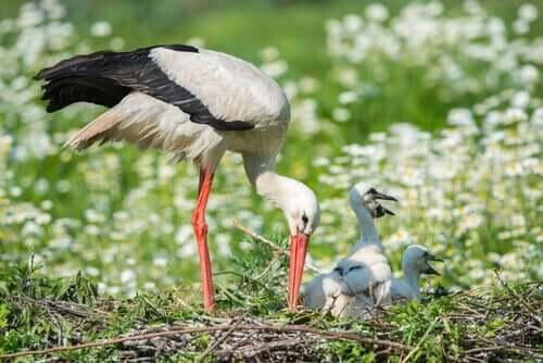 Vit stork med ungar.