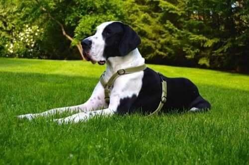 En grand danois som ligger på gräsmattan.