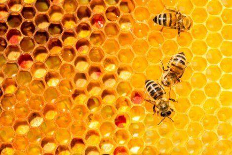 Samarbete och eusocialitet: en närbild på bikupa.
