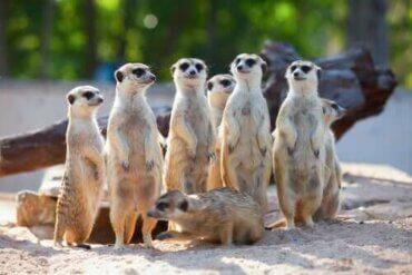 Samarbete och eusocialitet: vikten av sammanhållning