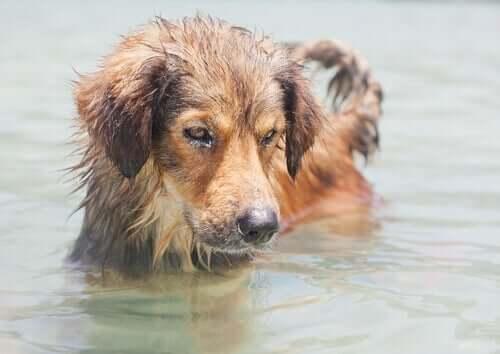 En hund badar i en sjö.