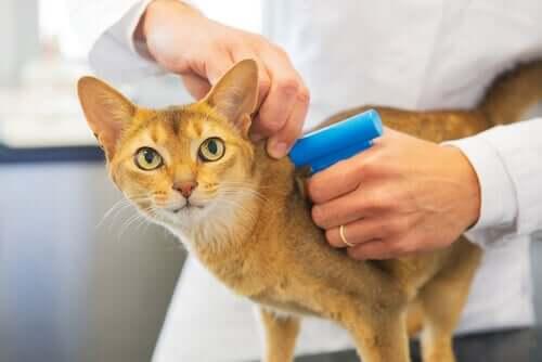 Mikrochip för katter: är det obligatoriskt att mikrochippa?