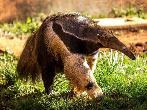 Myrätande djur: intressanta djur som äter myror