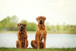 De största hundraserna i världen