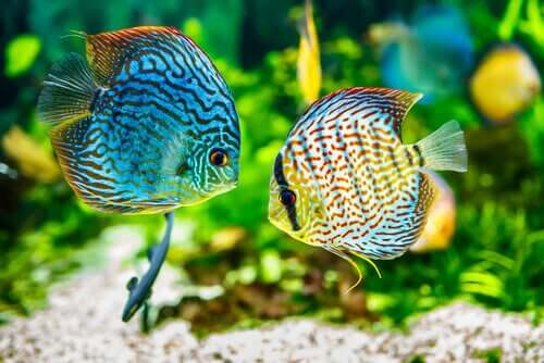 Vackra akvariefiskar