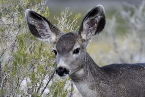 Okända hjortdjur: Åsnehjort med långa öron.