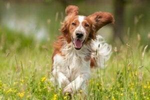 Hund springer på äng