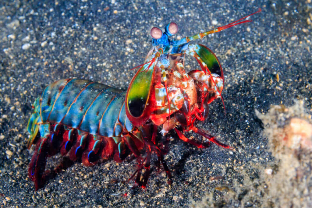 Upptäck den oövervinnerliga mantisräkan