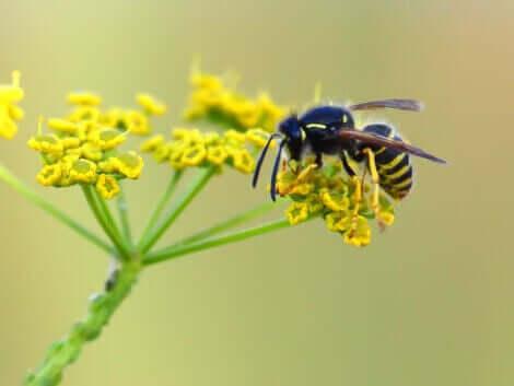 Pollinering mellan insekter och växter: En geting på en blomma.