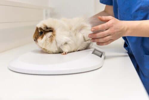 En veterinär väger en gnagare.