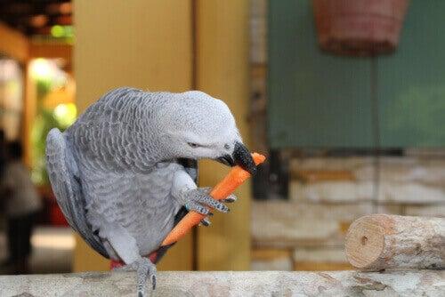 Grå papegoja äter en bit morot.