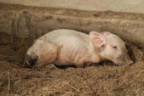 En griskulting som ligger ner i leran.