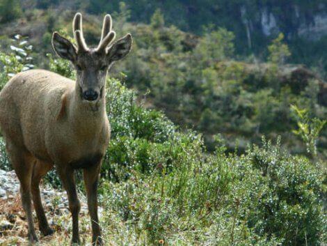 Okända hjortdjur: En hjort i bergen.