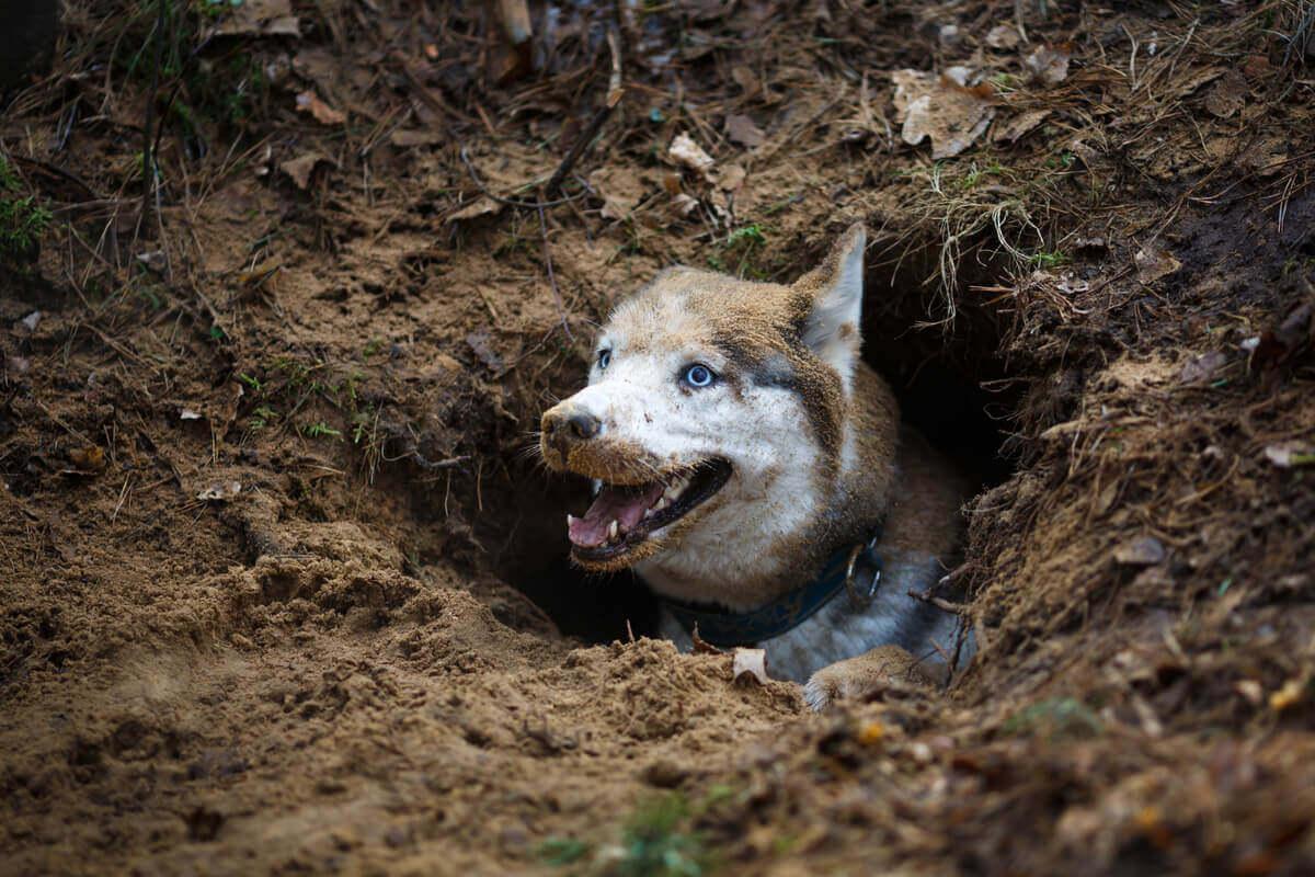 En hund sitter i ett hål som den grävt.