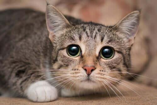 Katt med stora pupiller.