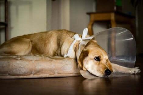 Hundar efter kastrering: En ledsen hund med tratt.