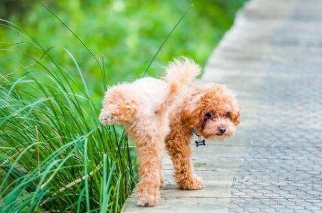 Hundar efter kastrering: En pudel som kissar.