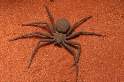 Sicarius-spindeln och dess dödliga gift