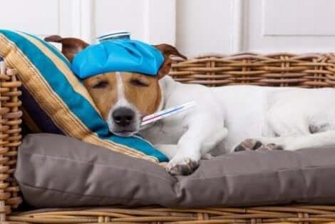 En sjuk hund med febertermometer i munnen.