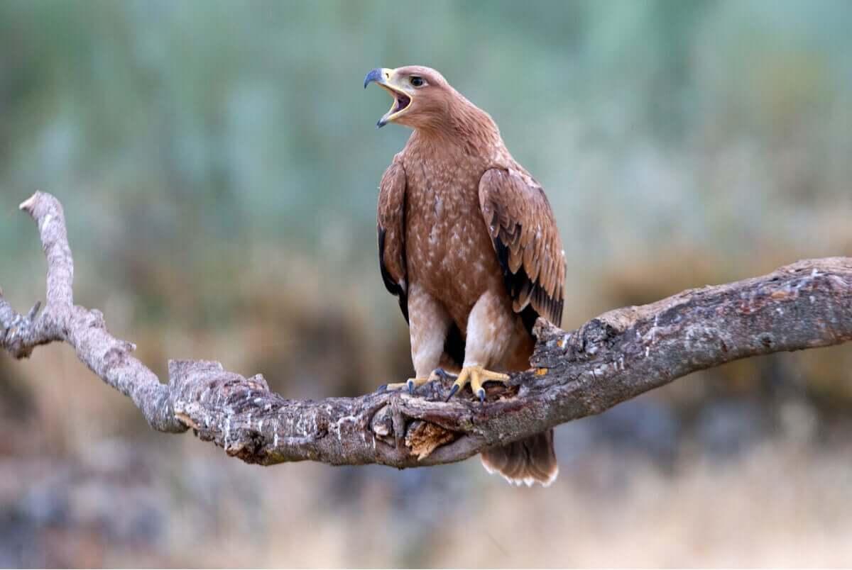 Spansk kejsarörn lever i Guadarrama nationalpark