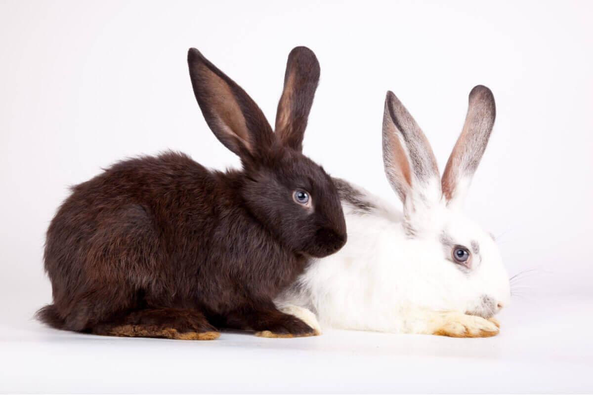En svart och en vit kanin.