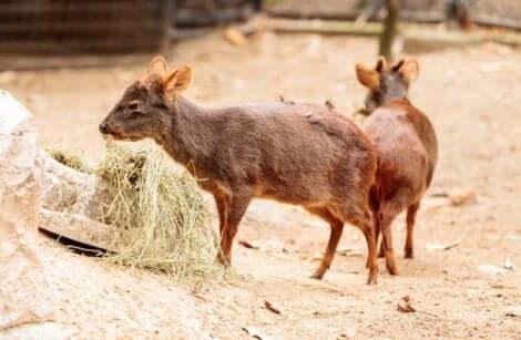 Okända hjortdjur: Två små hjortar äter hö.