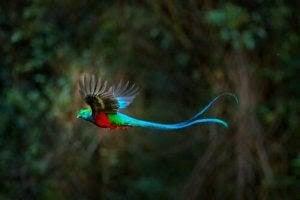 quetzal som flyger