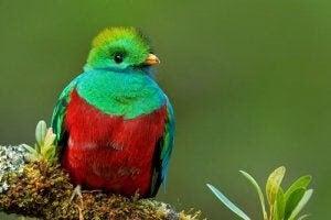 quetzalen en ikonisk fågel