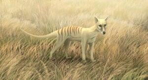 den tasmanska tigern i gräs
