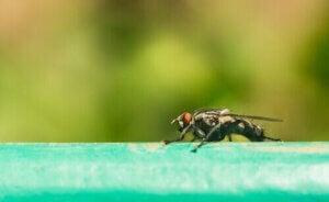 dödligaste djuren i världen: fluga