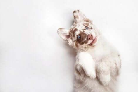 Kemisk kastrering av hundar: En valp med blå ögon som ligger på rygg.