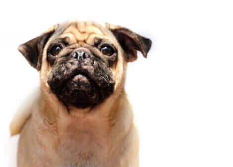 Acne hos hundar: En mops med acne.